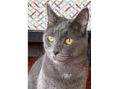 Adopt Stromboli a Russian Blue, Domestic Short Hair