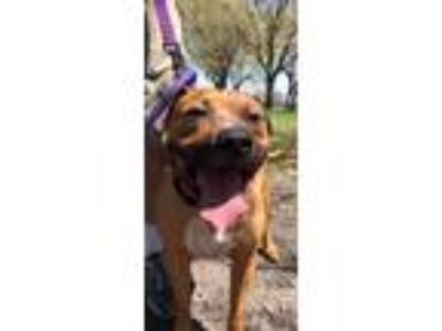 Adopt Sammy a Pit Bull Terrier, American Staffordshire Terrier