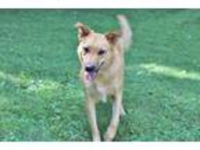 Adopt STELLA a Tan/Yellow/Fawn - with White German Shepherd Dog / Mixed dog in