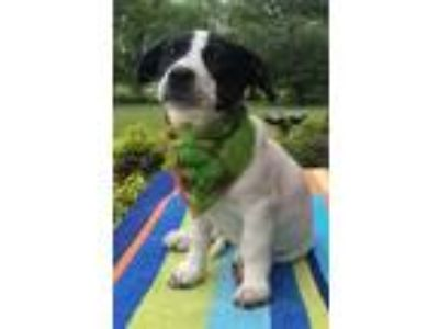 Adopt Hawkwoman a White Jack Russell Terrier / Labrador Retriever / Mixed dog in