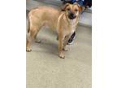 Adopt Cody a Brown/Chocolate Shepherd (Unknown Type) / Terrier (Unknown Type