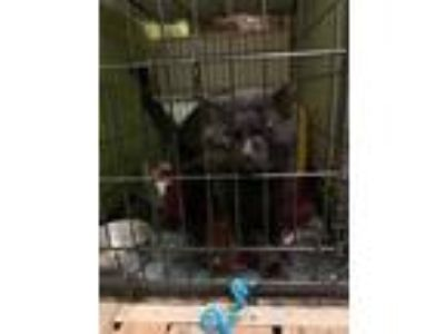 Adopt Tom Noodle a All Black Domestic Shorthair / Domestic Shorthair / Mixed cat