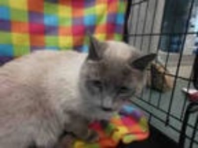Adopt LUCAS a Brown or Chocolate (Mostly) Siamese / Mixed (short coat) cat in