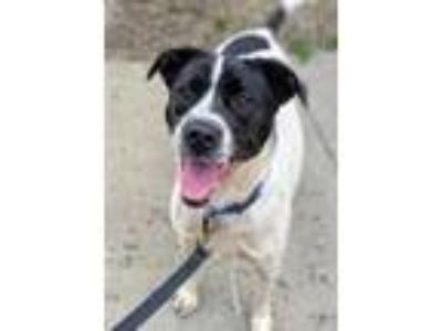 Adopt Oreo a Labrador Retriever / Mixed dog in Boone, IA (25264096)