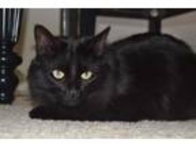 Adopt Cash a All Black Domestic Mediumhair / Mixed (medium coat) cat in Mobile