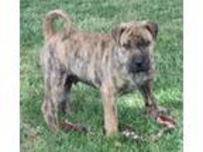 Adopt Ringo a Shar-Pei, Great Dane
