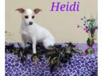 Adopt Heidi in Bryan, Texas a White - with Tan, Yellow or Fawn Jack Russell
