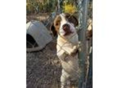 Adopt Mattie a Pointer, Pit Bull Terrier