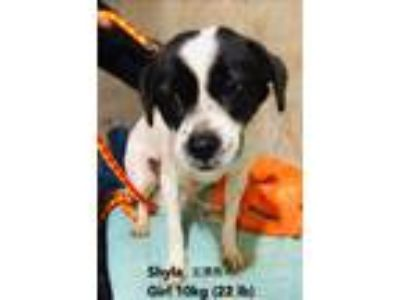 Adopt Shyla a Black - with White Beagle / Terrier (Unknown Type