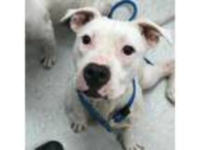 Adopt Tamera a White - with Tan, Yellow or Fawn Shar Pei / Terrier (Unknown