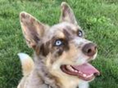 Adopt Yogi a Brown/Chocolate - with White Husky / Australian Shepherd / Mixed