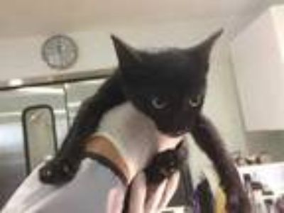 Adopt a All Black Domestic Shorthair / Mixed (short coat) cat in Long Beach