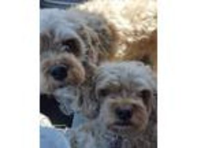 Adopt Butterball a Cavalier King Charles Spaniel, Poodle
