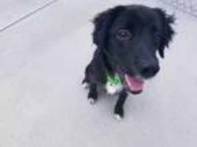 Adopt Tippy a Labrador Retriever