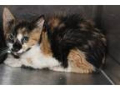 Adopt Pen 35c a Domestic Short Hair