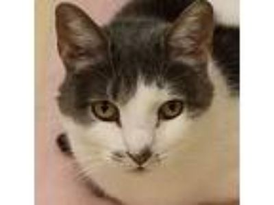 Adopt Sky a Gray or Blue Domestic Shorthair (short coat) cat in Westbury