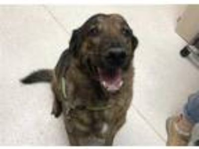 Adopt PRESLEY a Brindle German Shepherd Dog / Plott Hound / Mixed dog in Murray