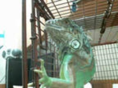 Adopt a Iguana / Mixed reptile, amphibian, and/or fish in Sacramento