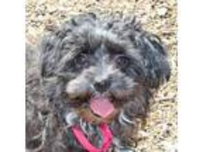 Adopt Rose a Black - with White Poodle (Toy or Tea Cup) / Terrier (Unknown Type