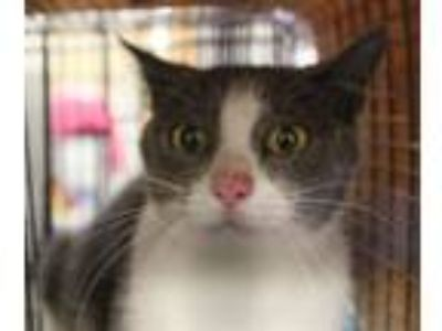 Adopt Pen 30 a Domestic Short Hair
