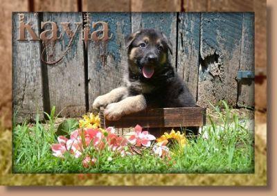 Kayla Female German Shepherd
