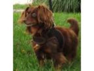 Adopt Toby a Dachshund, Papillon