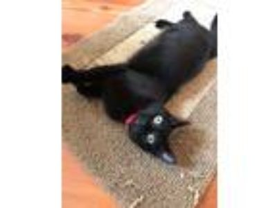 Adopt lulu a All Black Domestic Shorthair (short coat) cat in Madisonville