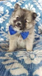 Pomeranian PUPPY FOR SALE ADN-105087 - Billy the Pomeranian
