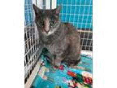 Adopt Spook a Domestic Mediumhair / Mixed cat in Troy, VA (24772867)