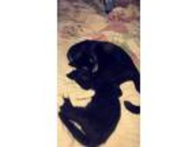 Adopt Willow & Freckles a Black & White or Tuxedo American Shorthair / Mixed cat