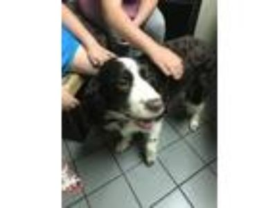 Adopt Stormy a Spaniel, English Springer Spaniel