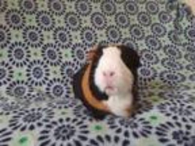 Adopt Maisy a Guinea Pig, Short-Haired