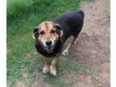 Adopt Angel a Tricolor (Tan/Brown & Black & White) Beagle / Basset Hound / Mixed