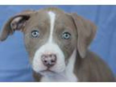 Adopt Patience a Pit Bull Terrier