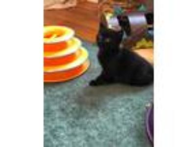 Adopt Parker a All Black Domestic Shorthair / Domestic Shorthair / Mixed cat in