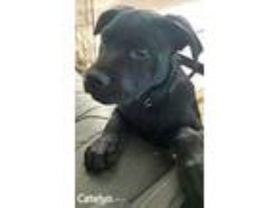 Adopt CATELYN a Black Shar Pei / Retriever (Unknown Type) / Mixed dog in Palm