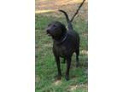 Adopt Johnny a Black Labrador Retriever / Mixed dog in Nanuet, NY (23038007)