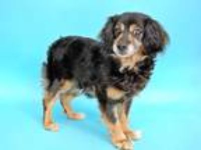Adopt SALLY a Brown/Chocolate - with Black Cocker Spaniel / Mixed dog in St.
