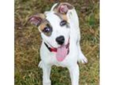 Adopt Gianni 9020 a Pit Bull Terrier