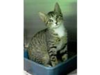 Adopt 10319932 a Domestic Short Hair