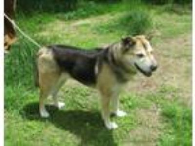 Adopt Penelope a Tan/Yellow/Fawn - with Black Husky / German Shepherd Dog /