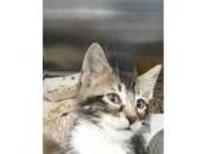 Adopt STRAY a Brown Tabby Domestic Shorthair / Mixed (short coat) cat in Dallas