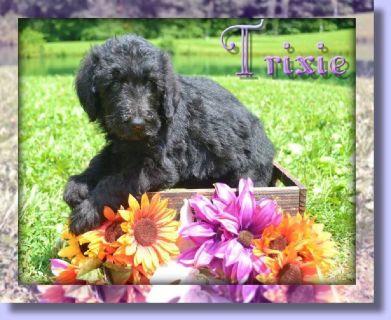Trixie Female F1B Labradoodle