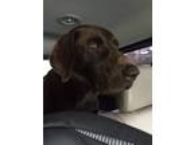 Adopt Chase a Brown/Chocolate Labrador Retriever / Mixed dog in Bayport