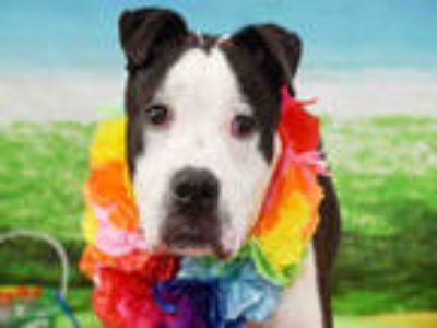 Adopt SHARPIE a Black American Staffordshire Terrier / Mixed dog in Fort