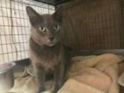 Adopt Boris a Domestic Short Hair