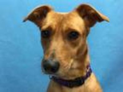 Adopt Cinnamon a Tan/Yellow/Fawn Jack Russell Terrier / Mixed dog in Golden