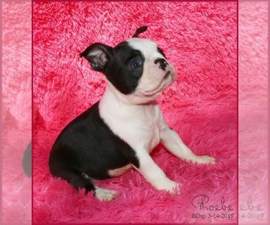 Boston Terrier PUPPY FOR SALE ADN-129280 - Phoebe AKC