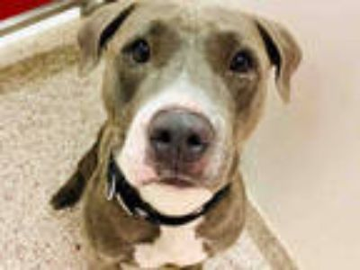 Adopt TRIA a Gray/Silver/Salt & Pepper - with White American Pit Bull Terrier /