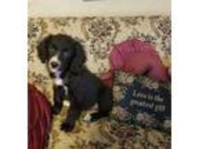 Adopt Shelby a Border Collie